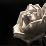 white-rose-in-black-background